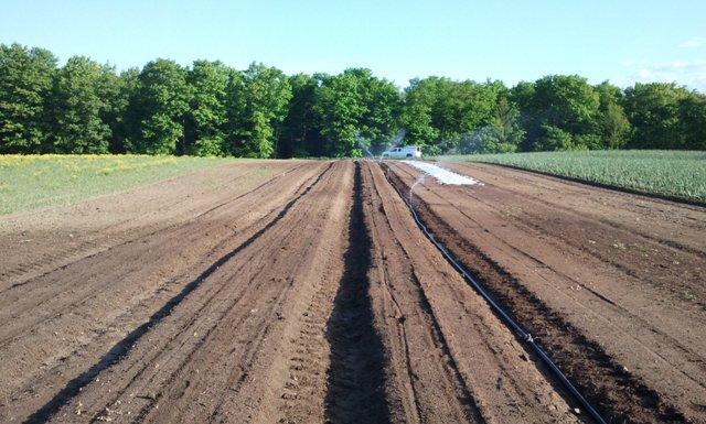 Irrigating early beds of carrots, greens and beets